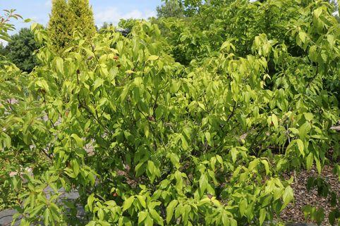 Winterblüte - Chimonanthus praecox