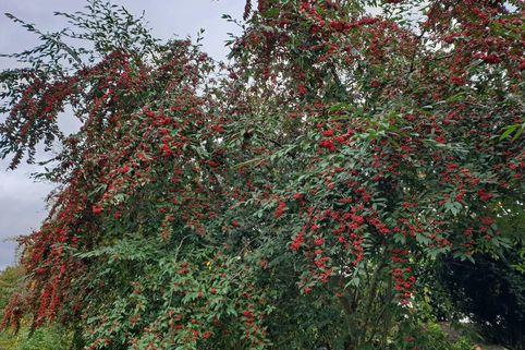 Wintergrüne Strauchmispel 'Cornubia' - Cotoneaster watereri 'Cornubia'