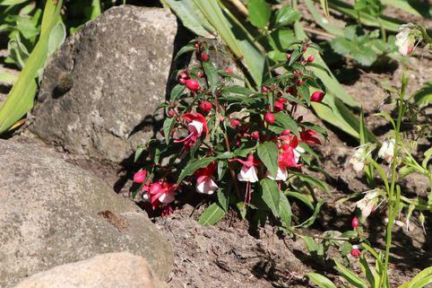 Winterharte Fuchsie 'Madame Cornelissen' - Fuchsia Hybride 'Madame Cornelissen'
