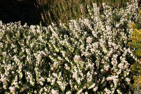 Winterheide / Schneeheide 'Isabell' - Erica carnea 'Isabell'