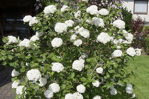 Wohlriechender Schneeball - Viburnum carlesii 'Aurora'