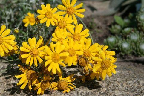 Wüsten Goldaster - Eriophyllum lanatum