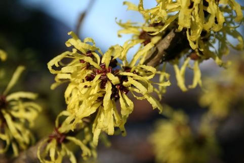 Zaubernuss 'Angelly' - Hamamelis intermedia 'Angelly'
