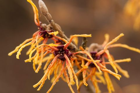 Zaubernuss 'Orange Beauty' - Hamamelis intermedia 'Orange Beauty'