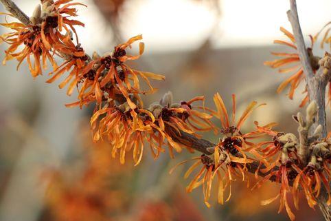 Zaubernuss 'Orange Peel' - Hamamelis intermedia 'Orange Peel'