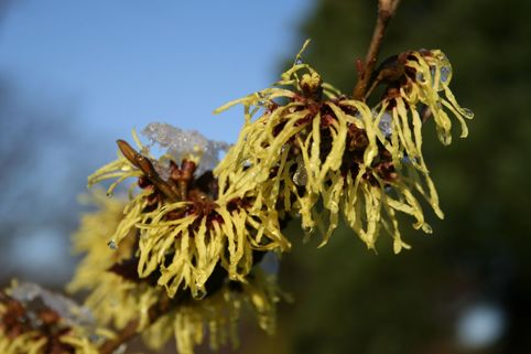 Lichtmess Zaubernuss 'Pallida' - Hamamelis intermedia 'Pallida'