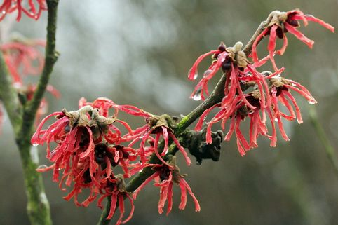Zaubernuss 'Ruby Glow' - Hamamelis intermedia 'Ruby Glow'