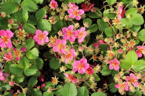 Zier-Erdbeere 'Lipstick' - Fragaria x ananassa 'Lipstick'