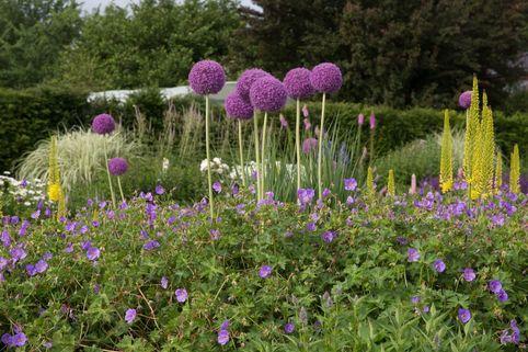 Zierlauch 'Globemaster' - Allium macleanii 'Globemaster'