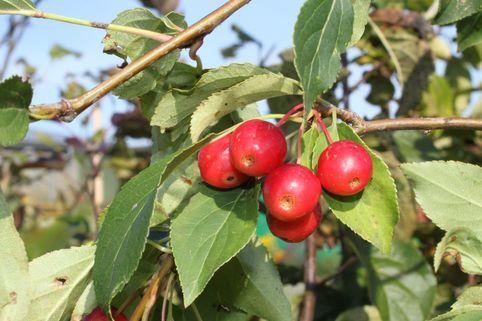Zierapfel 'Red Jade' - Malus 'Red Jade'