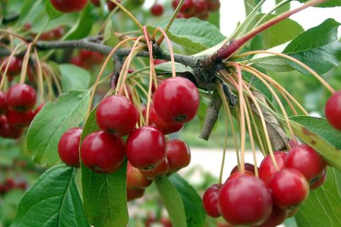 Zierapfel 'Red Juvel' - Malus 'Red Juvel'