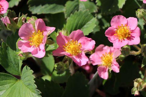 Zier-Erdbeere 'Pink Panda' ® - Fragaria x ananassa 'Pink Panda' ®