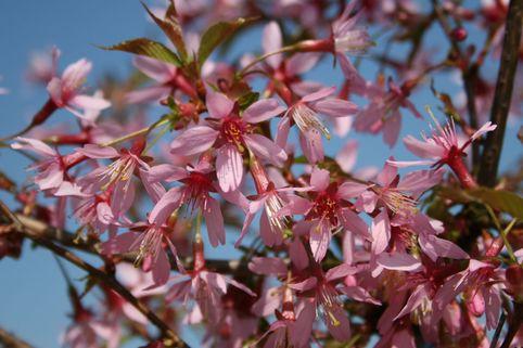 Zierkirsche 'Okame' - Prunus subhirtella 'Okame'