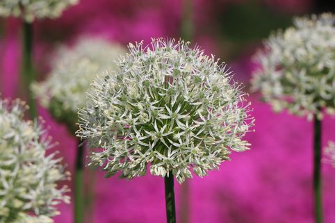 Zierlauch 'Mount Everest' - Allium stipitatum 'Mount Everest'