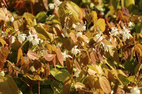 Zierliche Elfenblume 'Niveum' - Epimedium x youngianum 'Niveum'