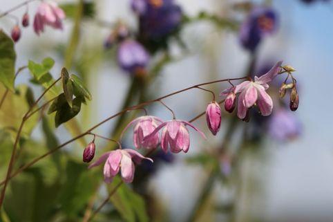 Zierliche Elfenblume 'Roseum' - Epimedium x youngianum 'Roseum'