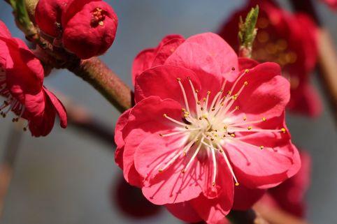 Zierpfirsich 'Melred' CAC - Prunus persica 'Melred'