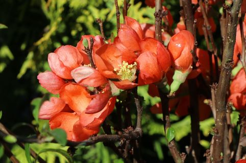 Zierquitte 'Pink Lady' - Chaenomeles 'Pink Lady'