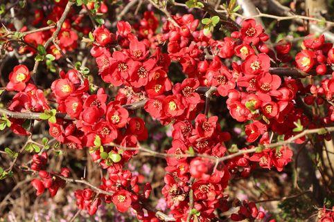 Zierquitte 'Red Joy' - Chaenomeles 'Red Joy'