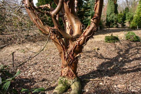 Zimtahorn - Acer griseum