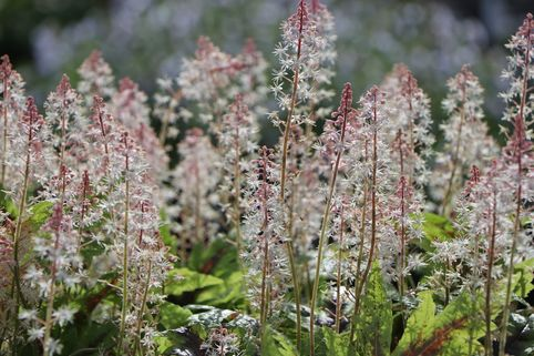 Zipfelblättrige Schaumblüte 'Sugar and Spice' ® - Tiarella laciniata 'Sugar and Spice' ®