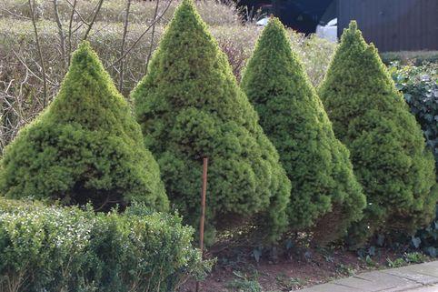Zuckerhutfichte 'Conica' - Picea glauca 'Conica'