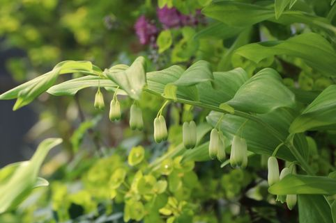 Zweiblütiges Salomonssiegel - Polygonatum biflorum