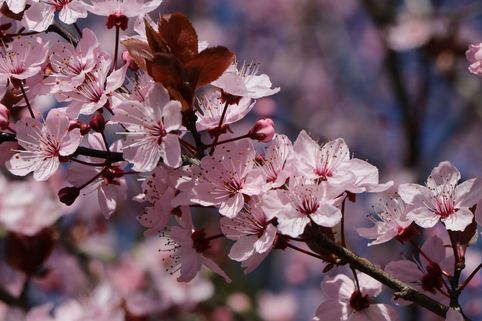 Zwerg-Blutpflaume - Prunus cistena