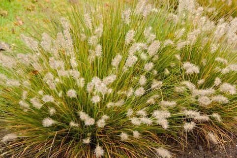 Zwerg-Federborstengras 'Little Bunny' - Pennisetum alopecuroides 'Little Bunny'