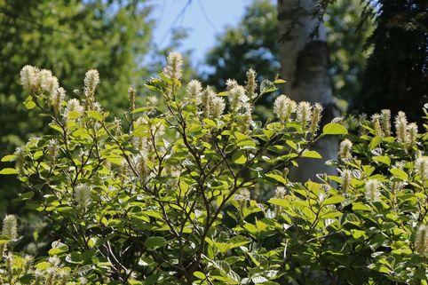 Zwerg-Federbuschstrauch - Fothergilla gardenii