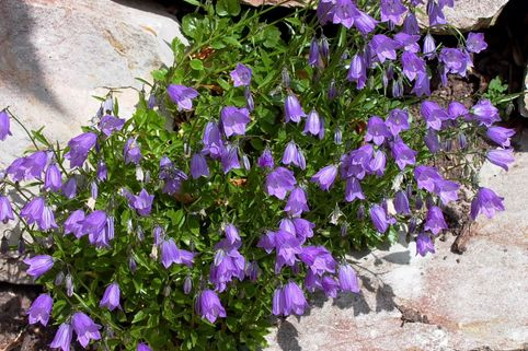 Zwerg-Glockenblume - Campanula cochleariifolia