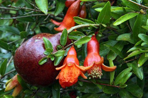 Zwerg-Granatapfel 'Nana' - Punica granatum 'Nana'