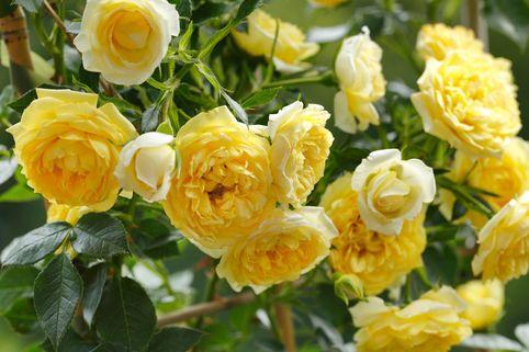 Zwerg-Kletterrose 'Elida' ® - Rosa 'Elida' ® / Starlet ®