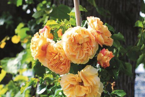 Zwerg-Kletterrose Starlet®-Rose 'Lizzy' ® - Rosa Starlet®-Rose 'Lizzy' ®