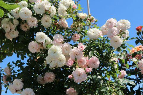 Zwerg-Kletterrose Starlet®-Rose 'Alina' ® - Rosa Starlet®-Rose 'Alina' ®