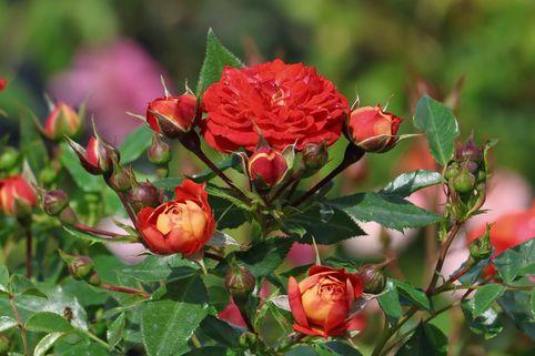 Zwerg-Kletterrose Starlet®-Rose 'Carmen' ® - Rosa Starlet®-Rose 'Carmen' ®