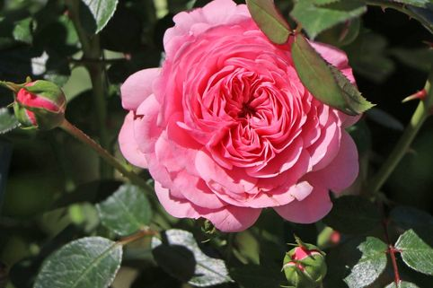 Zwerg-Kletterrose Starlet®-Rose 'Eva' ® - Rosa Starlet®-Rose 'Eva' ®