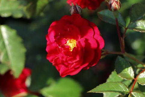 Zwerg-Kletterrose Starlet®-Rose 'Lola' ® - Rosa Starlet®-Rose 'Lola' ®