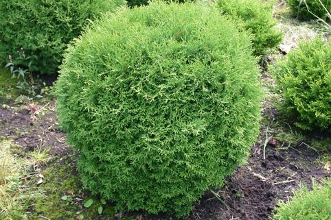 Zwerg-Lebensbaum 'Tiny Tim' - Thuja occidentalis 'Tiny Tim'