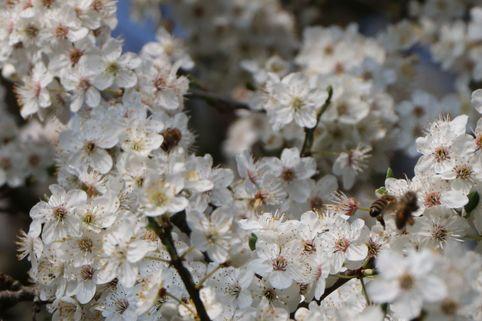 Zwerg-Mirabelle - Prunus domestica (Zwergform)