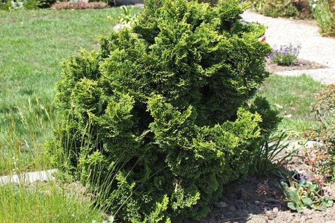 Zwerg-Muschel-Zypresse 'Nana Gracilis' - Chamaecyparis obtusa 'Nana Gracilis'