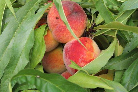 Pfirsich (Zwergform) - Prunus persica var. persica (Zwergform)