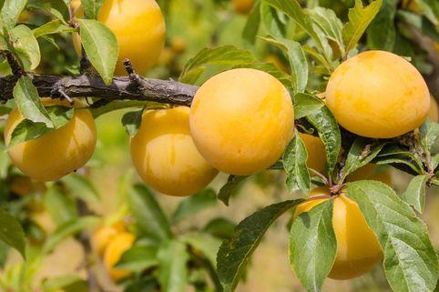 Zwerg-Reneklode 'Goldust' - Prunus domestica 'Goldust'