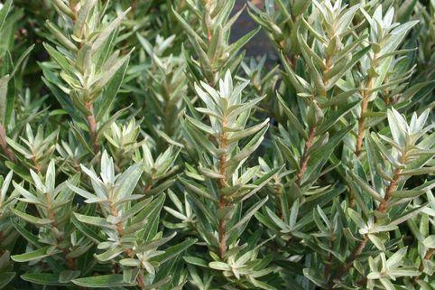 Zwerg-Sanddorn 'Hikul' / 'Silverstar' (männlich) - Hippophae rhamnoides 'Hikul' / 'Silverstar' (männlich)