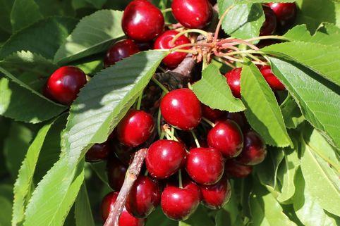 Zwerg Sauerkirsche 'Griotella' ® - Prunus cerasus 'Griotella'  ®
