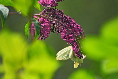 Zwerg-Sommerflieder / Schmetterlingsstrauch 'Buzz ® Magenta' - Buddleja davidii 'Buzz ® Magenta'
