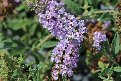 Zwerg-Sommerflieder / Schmetterlingsstrauch 'Lilac Chip' ® - Buddleja davidii 'Lilac Chip' ®