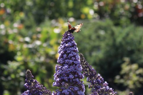 Zwerg-Sommerflieder / Schmetterlingsstrauch 'Summer Lounge' ® (Blau) - Buddleja davidii 'Summer Lounge' ® (Blau)