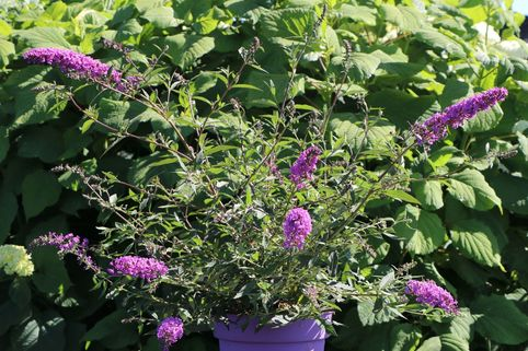 Zwerg-Sommerflieder / Schmetterlingsstrauch 'Summer Lounge' ® (Purple) - Buddleja davidii 'Summer Lounge' ® (Purple)