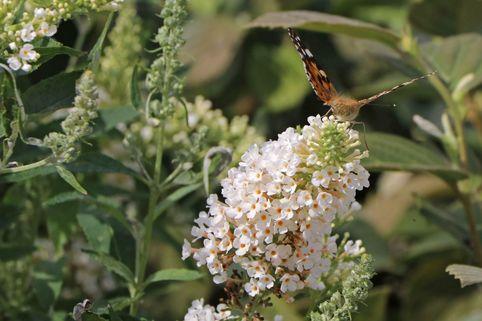 Zwerg-Sommerflieder / Schmetterlingsstrauch 'White Chip' ® - Buddleja davidii 'White Chip' ®